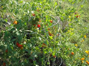 Cherry tomatoes growing in straw